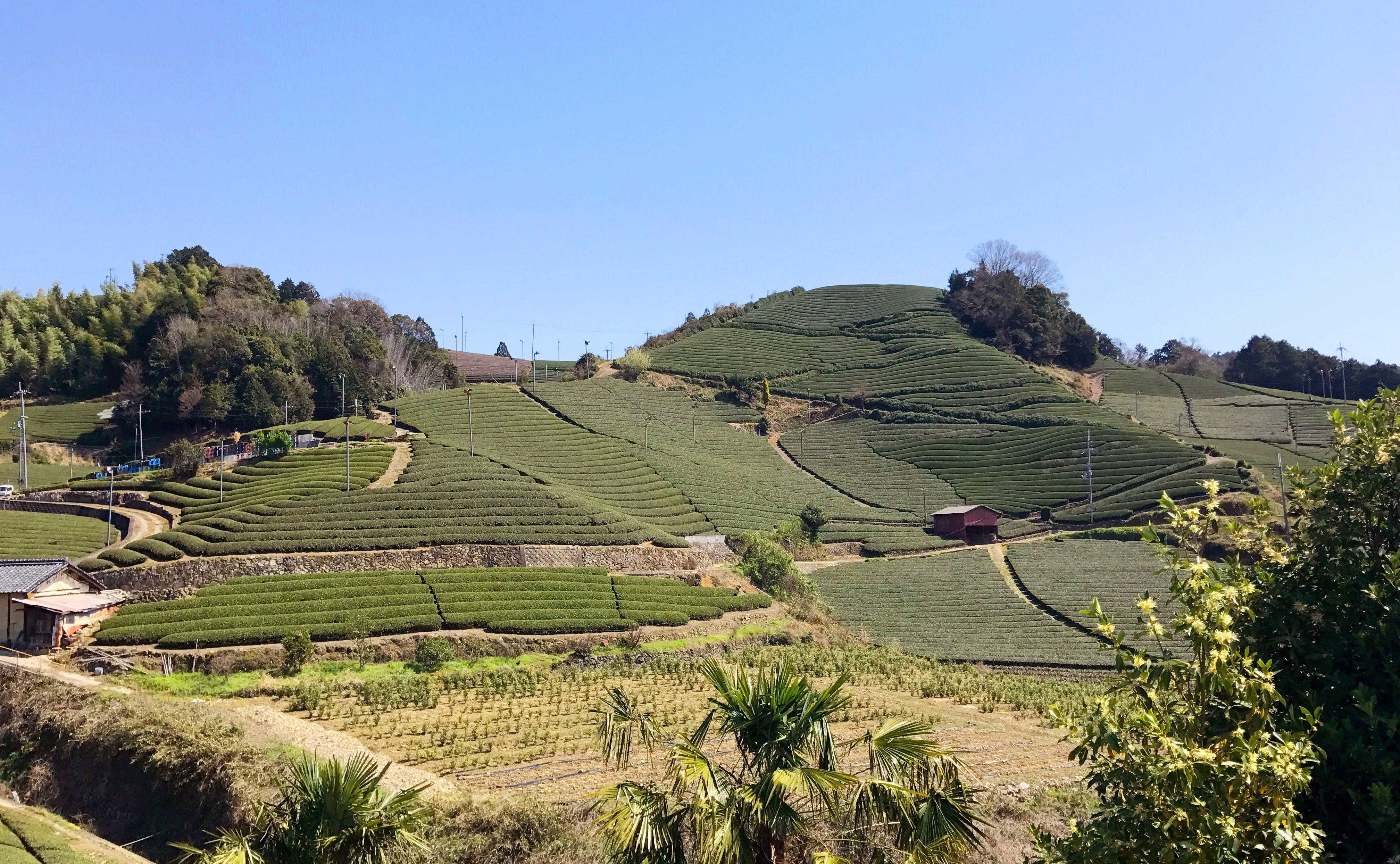 お茶産地・和束町の茶畑